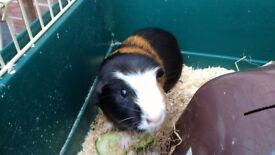 Guinea pig with large cage and accessories
