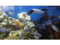Cichlids Malawis for sale