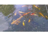 fully grown KOI CARP / SHUBUNKINS and other fish FOR SALE