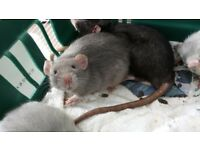 Handsome baby male rats for sale