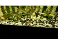 tropical/freshwater cherry shrimp 2 for £1