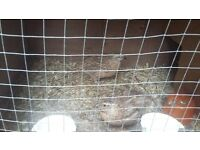pair of japanese quails 12 months old £10