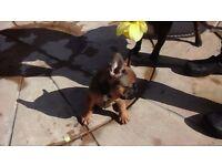 ****stunning cute french bulldog puppies*****