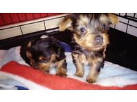 pedigree yorkshire terrier puppies, microchipped, insured, puppy pack