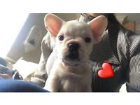 Reduced - Gorgeous French bulldogs