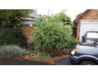 Willow tree / shrub