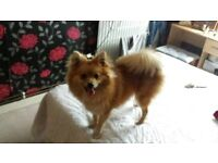 9 month old female pomeranian