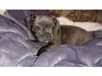 ** !!PRICE REDUCED!! LILLY THE STUNNING BLUE FIVE STAR STUNNING FRENCH BULL DOG X STAFFY PUPPY **