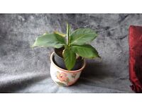 BANANA PLANT - has baby plant along side big one
