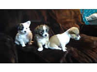 Jack Russel X Chihuahua puppies Jackahuahua