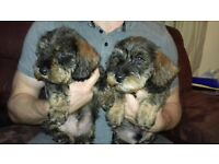 Wire Haired Dachshund puppies for sale.