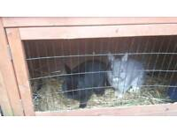 Rabbits and hutch free to a good home