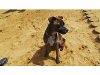 Sweet Staffordshire Bull Terrier Crossbreed