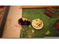 2 guinea pigs with full setup