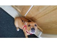 Staffy female pup for sale