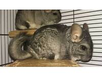 Dad and Lad Chinchillas