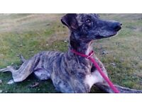 1 Year Old Saluki Whippet Greyhound Dog For Sale