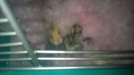 baby russian dwarf hamsters well handled and used to children