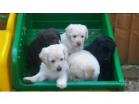 beautiful labradoodle puppies two boys free girls scene with Mum