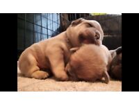 Gorgeous K.C registered french bulldog puppies