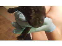 Black/brown patterdale pups