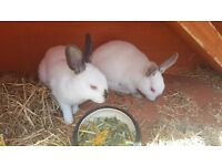 x2 girl rabbits for sale
