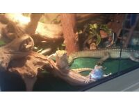Ranking bearded dragons and full set up