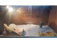 bearded dragon in need of good home (full setup included)