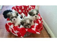 Lovely Shihtzu Puppies Ready Now