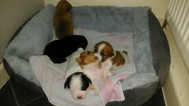 terrier cross shih tzu puppies for sale