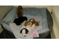 terrier cross shih tzu puppies for sale