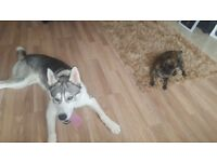 8 months old male husky for sale (NOW SOLD TO A LOVELY FAMILY)
