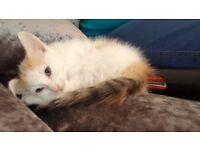 Last kitten of the litter, ready now