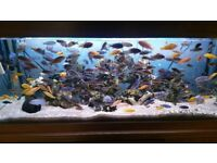 Beautiful Malawi Cichlids Various Types £1.50 to £12