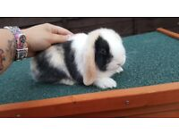 9 weeks old mini lop rabbits
