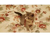 Adorable Exotic kittens for sale!