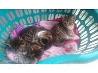 3 very cute kittens for sale