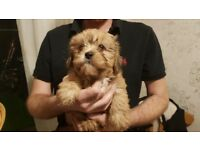Shih Tzu In Scotland Dogs Puppies For Sale Gumtree
