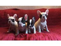 BEAUTIFUL PIED kc French bulldogs