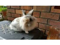Very tame doe lionhead rabbit for sale