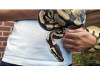 Adult Female Pastel Royal Python