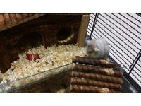 hamsters russian