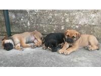 Bullmastiff-Rottweiler puppies for sale