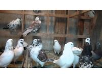 Iranian pigeons