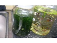 Guppy adults and babies, plants too