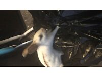 Very taim lovely English cross rabbit. Comes with cage and food.
