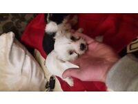 Yorkshire cross bichon puppys