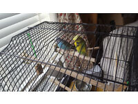 Budgies (x2) and cage for sale