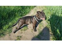 ABKC registered American Bully Pocket Black Male Puppy