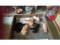 Puppies In Scotland Dogs Puppies For Sale Gumtree